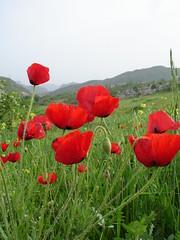 Flower (kezwan) Tags: red flower nature kurdistan kezwan