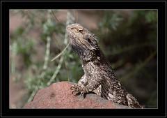 Bearded Dragon-9777 (Barbara J H) Tags: fauna reptile australia lizard qld beardeddragon australianwildlife beerwah australiannativeanimal pogonabarbata supershot australianfauna canoneos30d wildlifeofaustralia barbarajh faunaofaustralia excapture