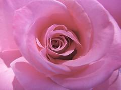 September Rose (Brian A Petersen) Tags: desktop pink red wallpaper plant flower macro nature beauty rose god brian creation petersen excellence bpbp brianpetersen brianapetersen