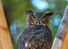 I Am Wise (Phillip Chitwood) Tags: bird raptor owl vins hornedowl d80 anawesomeshot impressedbeauty superbmasterpiece vermontinstituteofnaturalscience