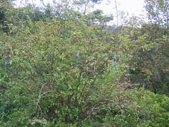 elder bush