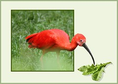 Roter Vogel..        (red bird...) (alfred.hausberger) Tags: red rot bird ibis tierpark vogel scarletibis redbird lwenzahn outofbound abigfave scharlachsichler updatecollection rotervogel