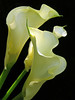 Purity (sasithorn_s) Tags: friends flower macro nature callalily caladium zantedeschia diamondclassphotographer flickrdiamond citrit overtheexcellence concordians theperfectphotographer rubyphotographer mallmixstaraward hennysgardens