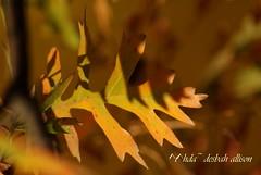 ~ a heavenly leaf in autumn ~ (^i^heavensdarkangel2) Tags: autumn fall nature sunshine closeup season landscape leaf colorado bokeh earth foliage mothernature pagosasprings scruboak colorfulcolorado sonydslra200 sunshinelight desbahallison heavensdarkangel2 ihda~desbahallison heavensyard zooomage