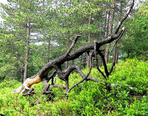 pine beast