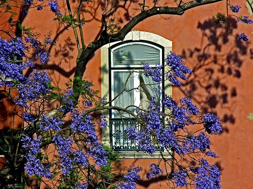 Jacaranda through my window