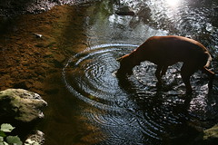 Ripples in the water (Woody Worth) Tags: wood dog cute dogs water animal puppy happy puppies stream woody vizsla holly 100views 300views 200views elaine worth serene doggy ripples hayes kev hungarian viszla whitwick pointyfaceddog pfosilver