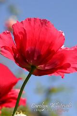 Poppy Down Under