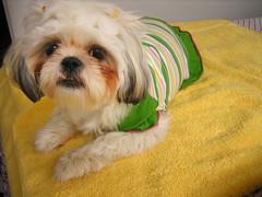 IMG_3725_1.JPG (Chiptography) Tags: dog marzipan maltzu
