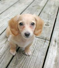Honey (Doxieone) Tags: dog cute english puppy interestingness long cream dachshund explore honey final blonde exploreinterestingness haired pup1 coll 605 134 1002 longhaired final1 honeydog topfavorite explored englishcream honeyset