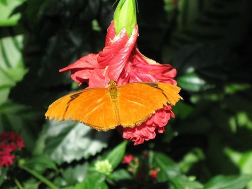 Olbrich Butterfly 1