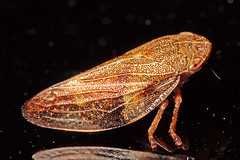 """Common Froghopper (Philaenus spumarius) • <a style=""""font-size:0.8em;"""" href=""""http://www.flickr.com/photos/57024565@N00/953895197/"""" target=""""_blank"""">View on Flickr</a>"""