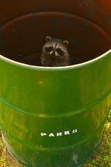 In the Can (joelerskates) Tags: park ontario green trapped garbage drum barrel can raccoon muskoka