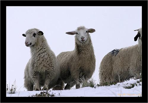 zouli image de moutons, vous la voyiez pas ? ha ... bin c'est qu'il y a un problème !
