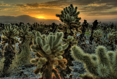 Another Cholla Sunrise (Nick  Carlson) Tags: pictures cactus cacti sunrise photography photo desert photos pics carlson nick picture joshuatree pic hdr highdynamicrange hdri cholla joshuatreenationalpark naturesfinest chollagarden tonemapped silvercholla jumpingcholla flickrsbest aplusphoto nickcarlson truelifeimages nickcarlsonphotography