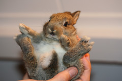Baby wabbit footsies (ksvrbrg) Tags: baby rabbit bunny konijn contest