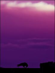 Apocalypse (PGornell) Tags: silhouette clouds sunrise colorado crow sillhouette youvsthebest imnotsurehowtospellsilhouette thepinnaclehof