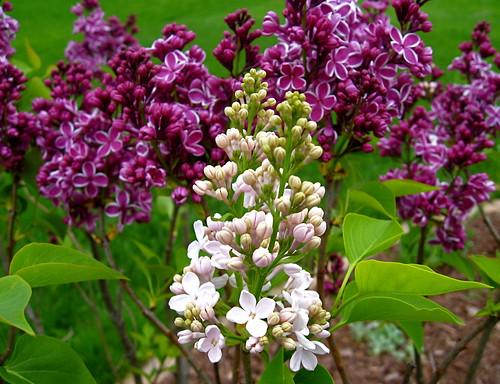 Sensation lilac intruder