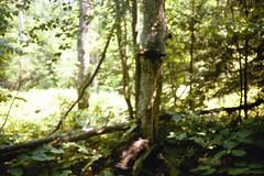 Turkey Vulture (siwild) Tags: newyork turkeyvulture cathartesaura largebirds taxonomy:common=turkeyvulture taxonomy:species=cathartesaura siwild:study=adirondackcarnivoresurvey siwild:studyId=adksets geo:locality=northamerica sequence:index=1 sequence:length=1 taxonomy:group=largebirds siwild:location=mooc2 siwild:camDeploy=adkdeploy81 siwild:plot=moosecreek siwild:date=200206281333000 siwild:trigger=adkimg202 siwild:imageid=adkimg202 sequence:id=adkimg202 file:name=6avulturejpg file:path=dpixmoosecreek2k6avulturejpg sequence:key=1 siwild:region=adk BR:batch=sla0620101118064407 geo:lon=43826555 geo:lat=75009788 siwild:species=132