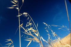 Wild Oats (gcquinn) Tags: blue wild sky skies geoff marin quinn geoffrey oats diamondclassphotographer flickrdiamond
