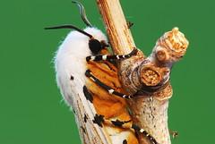 [フリー画像] [節足動物] [昆虫] [蛾] [キシタゴマダラヒトリ]       [フリー素材]