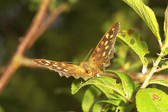 """Speckled Wood Butterfly (Parage aeger(2) • <a style=""""font-size:0.8em;"""" href=""""http://www.flickr.com/photos/57024565@N00/544470803/"""" target=""""_blank"""">View on Flickr</a>"""