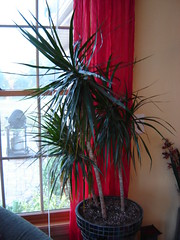 Madagascar Dragon Tree