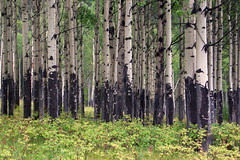 Bow Valley Poplars (redux) (rgdaniel) Tags: trees canada forest poplar alberta redux bowvalley supershot interestingness105 i500 mistymountainhop browseline superhearts