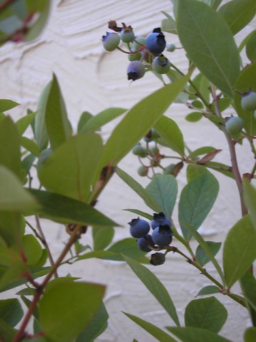 Blueberries Coming