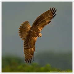Eastern Marsh Harrier() (stfbfc) Tags: colour nature digital ed nikon circus d2x soe f4 afs 600mm easternmarshharrier circusspilonotus flickrsbest specanimal fbwnewbird fbwadded aplusphoto avianexcellence