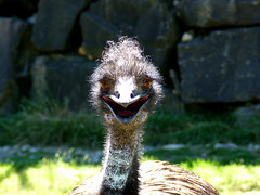 Happy Emu! (shesnuckinfuts) Tags: bird smile happy emu washingtonstate badhairday dromaiusnovaehollandiae cougarmountainzoo zoologicalpark featheryfriday july2007 featheryfriday1 experiencewa issaquahwa mywinners shesnuckinfuts lmaoanimalphotoaward