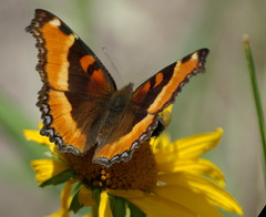 Milbert´s Tortoiseshell butterfly - White Mountains Arizona