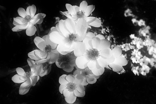 flowers pictures black and white. Black and white flowers