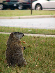Urban Watcher (Furryscaly) Tags: road urban hairy cute animal mammal rodent paw md furry squirrel sitting bokeh fort critter wildlife watching maryland ground explore woodchuck groundhog sit urbanwildlife marmot roadside upright alert pest animalia mammalia groundsquirrel meade varmint rodentia herbivore erect fortmeade burrowing marmota whistlepig sciuridae smallmammal marmotamonax vermine burrower fossorial marmotini monax taxonomy:kingdom=animalia taxonomy:class=mammalia wuchak xerinae easternmarmot landbeaver taxonomy:binomial=marmotamonax