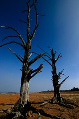 Growing old together (Rain.Forest) Tags: canon 300d australia deadtree nsw 1022mm lakeeucumbene oldadaminaby