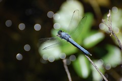 Glistening dragonfly - by Tom Gill (lapstrake)