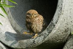 Adelr_20070707_109-2-Edit (reneadelerhof) Tags: bird claw owl littleowl atheneathene