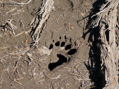 illustrated bear track