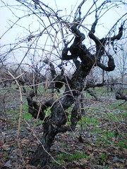 Gnarly old vines (sarahstierch) Tags: plant vineyard gnarlyvines