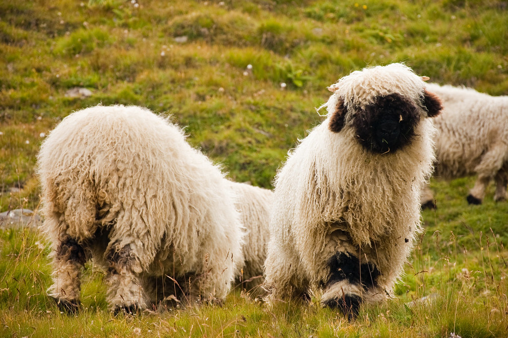 endless photos of sheep - 3