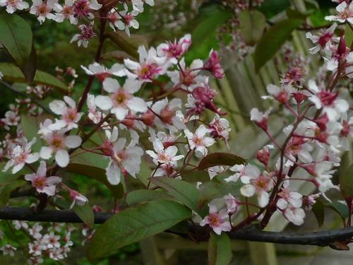 Prunus padus blossom