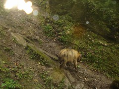 Takin (eMammal) Tags: takin wolong budorcastaxicolor geo:lon=30873 taxonomy:common=takin sequence:index=1 sequence:length=1 otherhoovedmammals taxonomy:group=otherhoovedmammals siwild:study=wolongcameratrapsurvey siwild:studyId=wolongbaitedsets geo:locality=china siwild:plot=wolong siwild:location=lwwl08811a siwild:camDeploy=chinadeploy194 geo:lat=103173 siwild:date=200810031724000 siwild:trigger=wwl08811a01286 siwild:imageid=wwl08811a01286 sequence:id=wwl08811a01286 file:name=wwl08811a01286jpg taxonomy:species=budorcastaxicolor sequence:key=1 siwild:region=china BR:batch=sla0620101119044543 siwild:species=12 file:path=dchinachinacameraimagedigitalafter2008wolongnaturereservewwl08811a01wwl08811a01286jpg