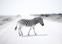 Zebra in Etosha Park - Namibia (Eric Lafforgue) Tags: africa road 2 hot animal 1 crossing dof 85mm safari lumiere heat zebra 12 namibia roas 1887 zebre