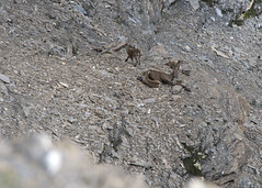 "chamois two from above • <a style=""font-size:0.8em;"" href=""http://www.flickr.com/photos/30765416@N06/5186704211/"" target=""_blank"">View on Flickr</a>"