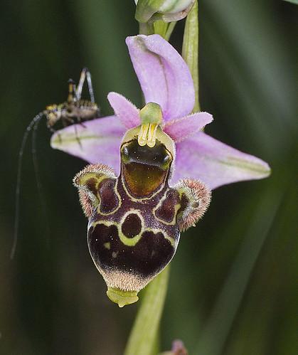 Ophrys scolopax? et errances taxinomiques - Page 2 5188183833_289061e56d