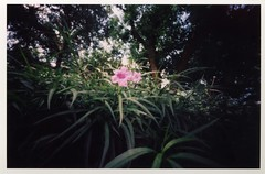 Pink flower (Graustark) Tags: pink flower 120 film texas houston pinhole agfa 10sec bellpark musuemdistrict 6x9pinhole agfacolorportrait160