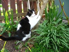 cat scratch fever (postscript love) Tags: cat feline moo scratchingpost