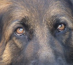 You're Welcome (skippi1234) Tags: dogs animals animaux chiens berger germansheperd