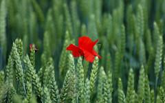 Poppy - by bogenfreund