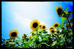 catch the sun (moaan) Tags: life sky sun sunlight flower field sunshine happy hope live 28mm bluesky sunflower cheerful upward 2007 f35 kodake100g naturesfinest sunnyplace minoltatc1 explored baskinthesun inlife ysplix sunflwerfield gettyimagesjapanq1 gettyimagesjapanq2
